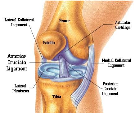 כאבים ברגליים - מבנה הברך